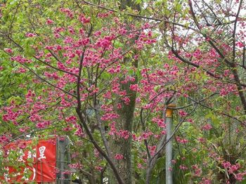 90227resize桜.jpg